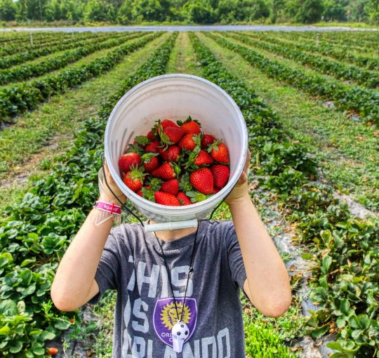 Child holding a large bucket of strawberries in a PYO strawberry field