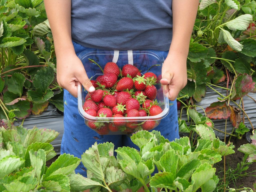 Child in strawberry field holding up a punnet of ripe strawberries at a pick your own strawberry farm